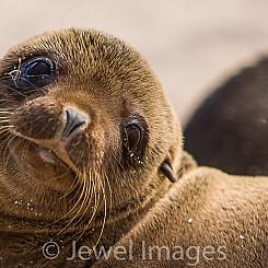 001 Galapagos Sea Lion 3317