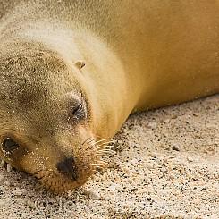 002 Galapagos Sea Lion 2351