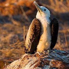 005 Great Frigatebird 0634