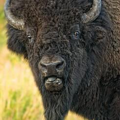006 Buffalo Yellowstone NP