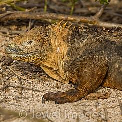 008 Land Iguana 3529