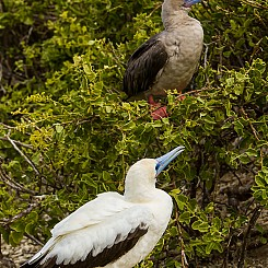 009 Red footed Booby 4185