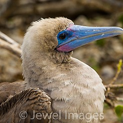 010 Red footed Booby 4174