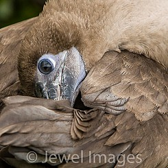 011 Red footed Booby 4440