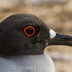 013 Swallow tailed Gull 2437
