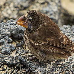 014 Medium Ground Finch 4372