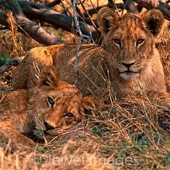 015 Lion Cubs Botswana