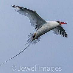 015 Red billed Tropicbird 2817