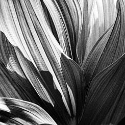 020 Corn Lily Yosemite NP