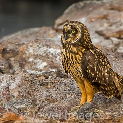 020 Short eared Owl 3034