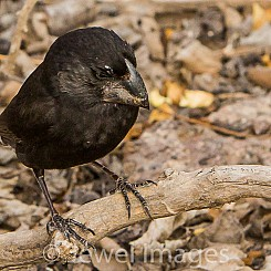 021 Large Ground Finch 3227