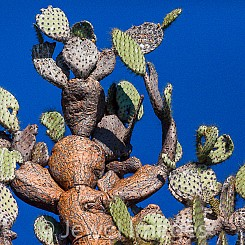026 Giant Prickly Pear Cactus 0814