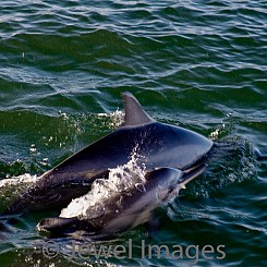 026 Spinner Dolphins W012