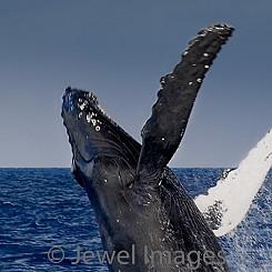 027 Humpback Whale Breach W005