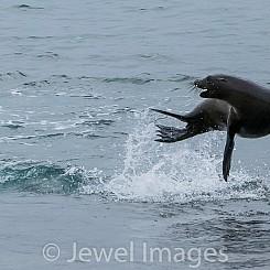 028 Galapagos Sea Lion 0147
