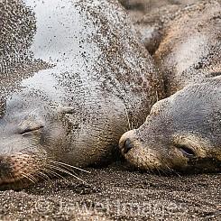 029 Galapagos Sea Lion 0178