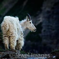 030 Mt Goat Glacier NP