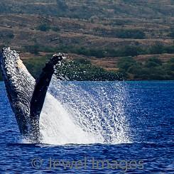 033 Humpback Whale Breach 4 W037