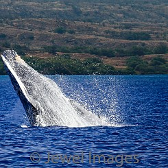 034 Humpback Whale Breach 5 W038