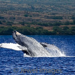 035 Humpback Whale Breach 6 W039