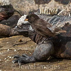 035 Marine Iguana and Finch 0477