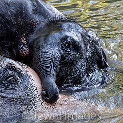 036 Elephant Play 2 Thailand