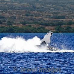 036 Humpback Whale Breach 8 W041