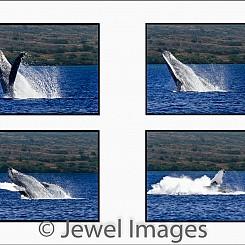 037 Humpback Whale Breach Sequence 2 W047