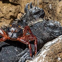 038 Marine Iguana and Crab 0475