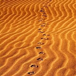 039 Coyote Tracks at Nipomo Dunes CA