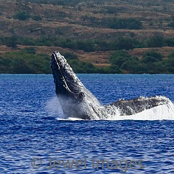 039 Humpback Whale Breach 11 W044