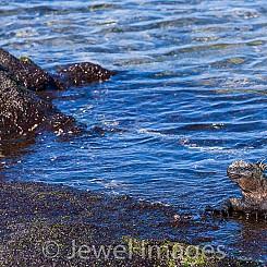 039 Marine Iguana and Crab 0834