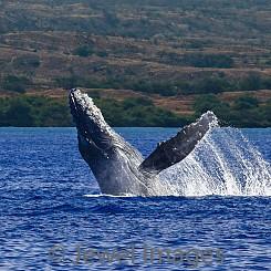 040 Humpback Whale Breach 12 W045