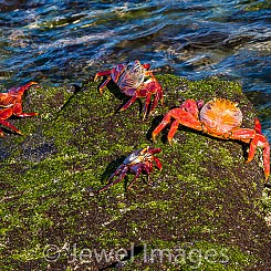 040 Sally Lightfoot Crab 1045