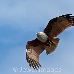 041 Fish Eagle Malaysia