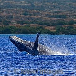 041 Humpback Whale Breach 13 W046