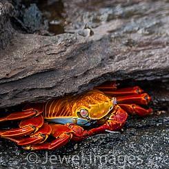 041 Sally Lightfoot Crab 0660