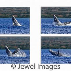 042 Humpback Whale Breach Sequence 3 W047