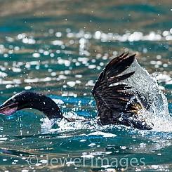 043 Flightless Cormorant 0422