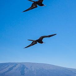 044 Frigatebird 0675