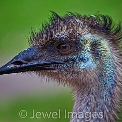046 Emu Australia Reptile park