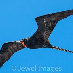 046 Frigatebird 6484