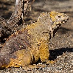 048 Land Iguana 0153