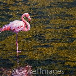 049 Flamingo 0621