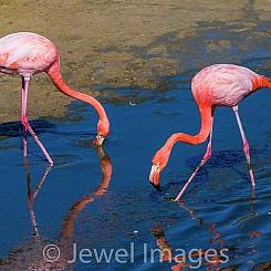 050 Flamingo 0528