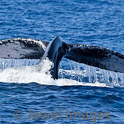 050 Humpback Whale Tail 9 W052