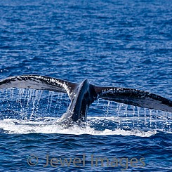 051 Humpback Whale Tail 10 W053
