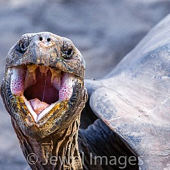 052 Galapagos Giant Tortoise 0768