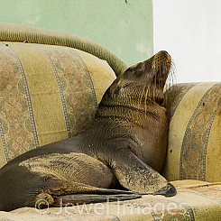 054 Galapagos Sea lion 0175