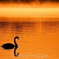 055 Black Swan at Sunrise Myall Lakes Australia